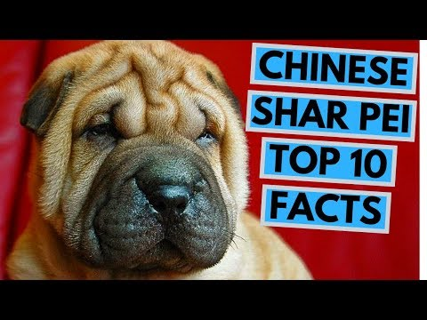 Chinese Shar Pei  TOP 10 Interesting Facts