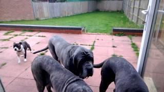 Disrespectful Staffordshire Bullterrier Shown Manners By Neapolitan Mastiff Pack