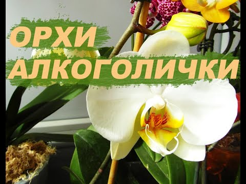 Орхи алкоголички. Протираю листья водкой. Как зимуют мои орхидеи.