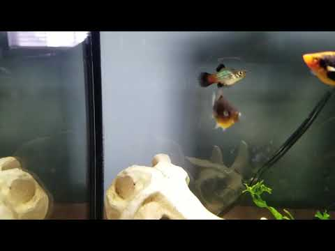 How To Sex Platy Fish (livebearers)