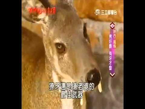 Musk Deer / Misk Geyiği