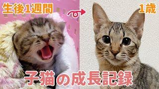 目の開かない子猫が立派な成猫になるまでの成長記録【祝1歳】