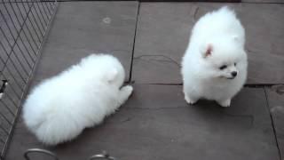 Два померанских шпица играют(Померанские шпицы - забавные, маленькие собачки. За ними можно наблюдать часами и получать от этого удоволь..., 2013-11-09T07:00:36.000Z)