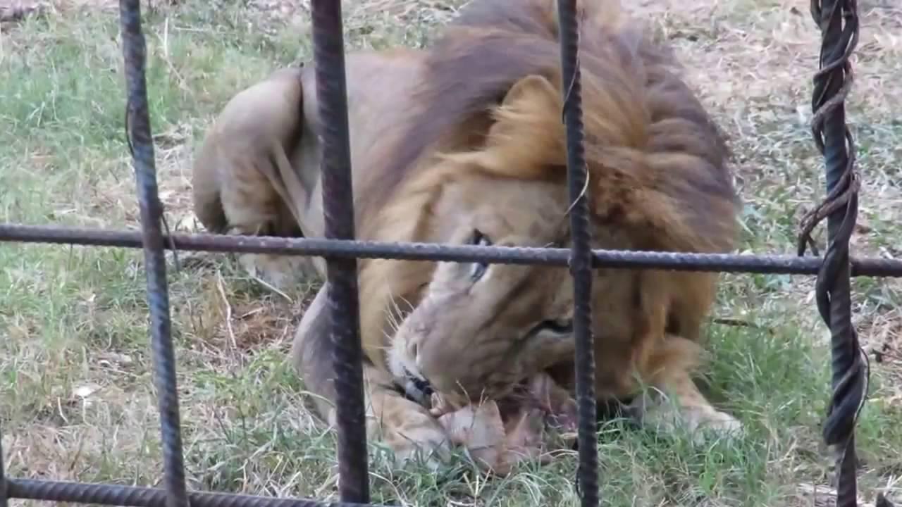 Wild Lions  eat  Chicken   When Animals  Lion Attacks  Funny Videos   Viral