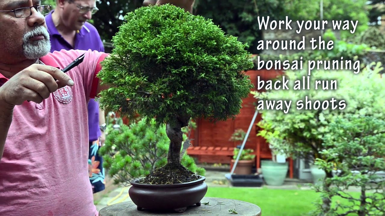 50 How To Prune Itogawa Chinese Juniper Summer Pruning Bonsai Trees For Beginners Series Youtube