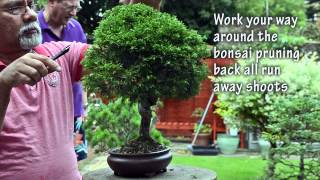 50) How to Prune Itogawa Chinese Juniper Summer Pruning - Bonsai Trees for Beginners Series
