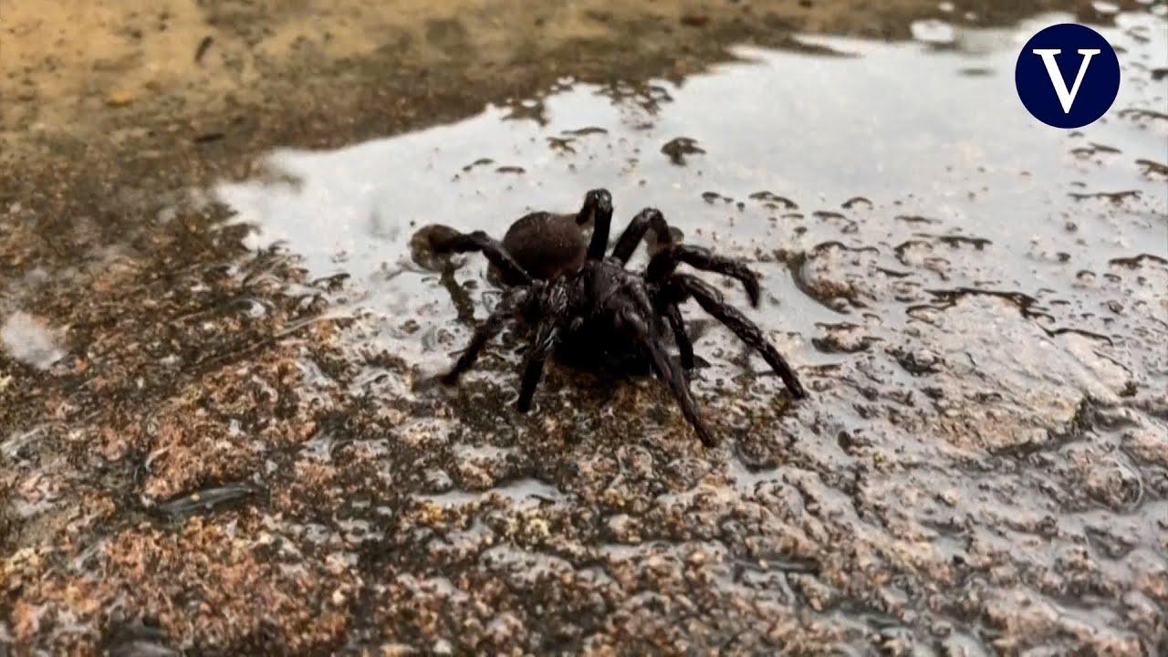Invasión de arañas gigantes luego de inundaciones en Australia