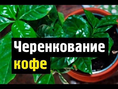 Как размножить кофейное дерево