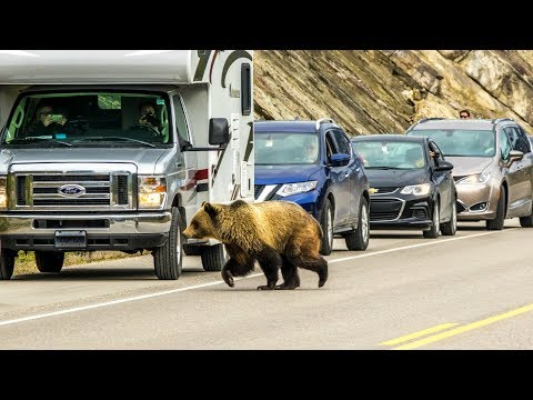 Is The Icefields Parkway Important Grizzly Bear Habitat?