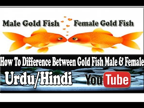 5 Basic Difference Between Gold Fish (Male And Female ...