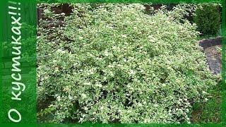 ДЕРЕН белый  и дерен  красный - кустарники для сада. Сорта дерена - изумительное растение!
