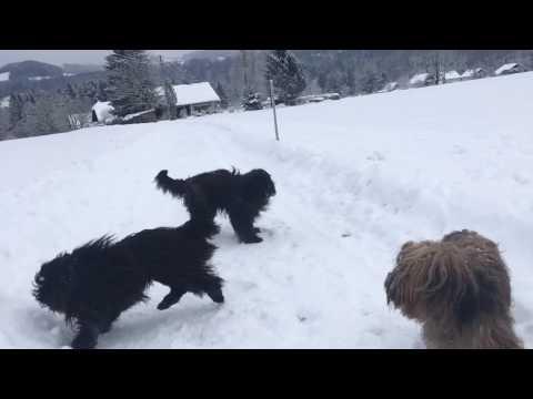 Briard Snow Play Mode ON