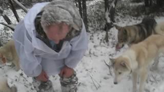 Охота на соболя с собаками зимой видео