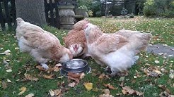Faverolles chickens socialising over a drink (with birdsong) 🐔🌳🍂