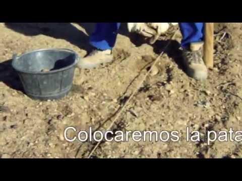 Como sembrar patatas ecohuertos youtube for Como cultivar patatas