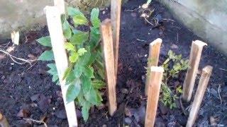 Укриття на зиму лавра та трифоліати.(Відео про рослини в відкритому грунті: лавр благородний та трифоліату., 2015-12-13T16:58:02.000Z)
