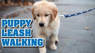 Puppy Leash Walking Training  Teaching a puppy to walk on a leash