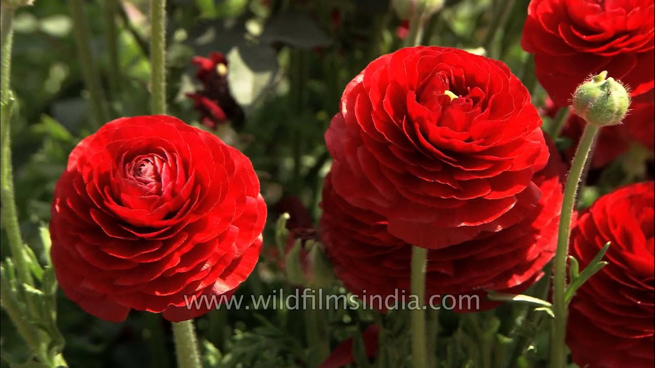 Gorgeous red Ranunculus flower   YouTube Gorgeous red Ranunculus flower