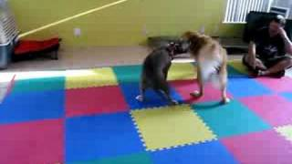 Golden Retriever Vs. Pitbull, Round 1