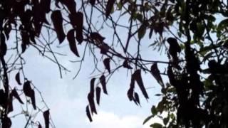 Burung Cabai Merah (Scarlet-Becked flowerpecker)