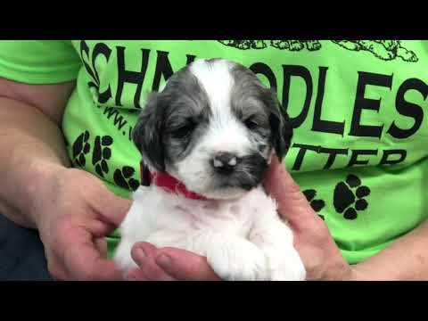 Aspen's schnoodle puppies 3 weeks old getting new collars 7/15/19
