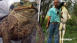 Capturan a un sapo gigante que es más grande que un perro. No creerás que comía