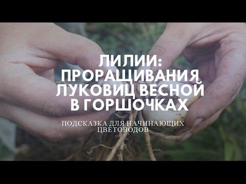 Лилии: проращивание луковиц весной в горшочках .