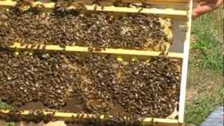 Pčele Jenter