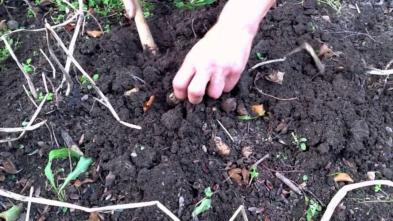 optagning af kartofler