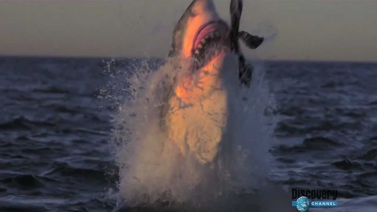 Excellent message great white shark attacks seal especial. something
