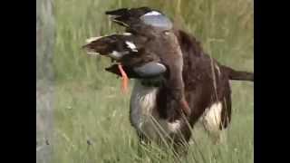 Le canard a la botte - chasse aux canards