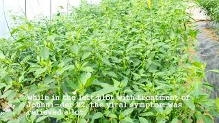 [Pepper virus]Plant virus inhibitor treatment on TSWV 1