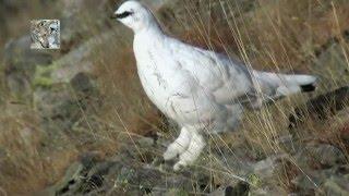 White partridge & Varying Hare - Pernice Bianca & Lepre Variabile