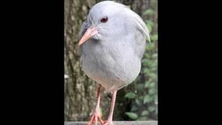 カグー、ニューカレドニアにしかいない飛べない鳥。別名 カンムリサギモドキ。
