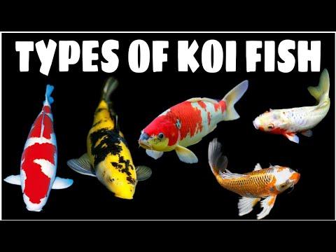 Types Of Koi Fish