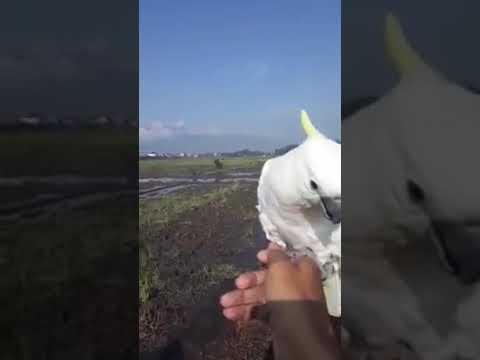 Cockatoo (Kakatua Jambul Kuning) Free Flight - Indonesia