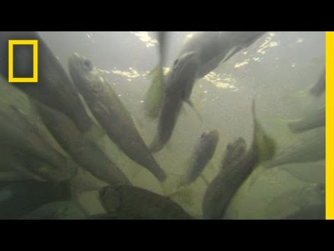 600,000 Salmon Restock River by the Truckful | National Geographic