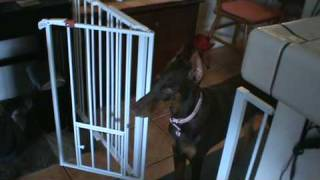 Dobermann potty train(6 months)