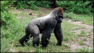 Silverback Gorillas (Gorilla gorilla)