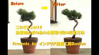 盆栽初心者向けの古葉取り後の剪定方法を分かり易く説明しています。 たった2つの基本的な作業で見違えるように綺麗になります! インテリア盆栽 ...