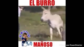 El burro mañoso de mi papa video chistoso