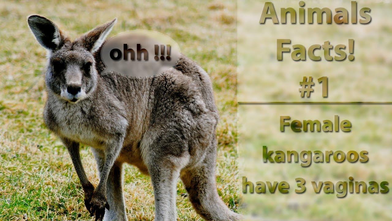 Animals Facts 1 - Female Kangaroos Have 3 Vaginas - Youtube-9242