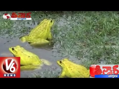 Frog Rains Down From Skies At Nandigama Village In AP | Teenmaar News | V6 News