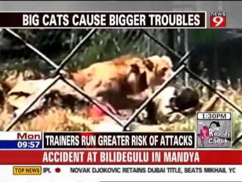 animales salvajes ataques de leones a cuidadores