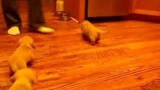 Cream Mini Dachshund Puppy Video 3