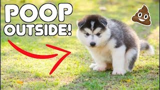 Teach Your Husky Puppy To POOP OUTSIDE!