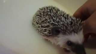 Video African Pygmy Hedgehog Baby In The Bath download MP3, 3GP, MP4, WEBM, AVI, FLV Juni 2018