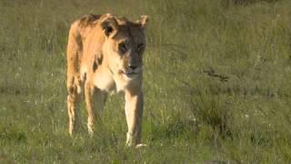 Африканские кошки: Королевство смелых - Трейлер