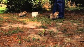 For Sale: Ckc Pomeranian Pups (annie & Prince Litter)