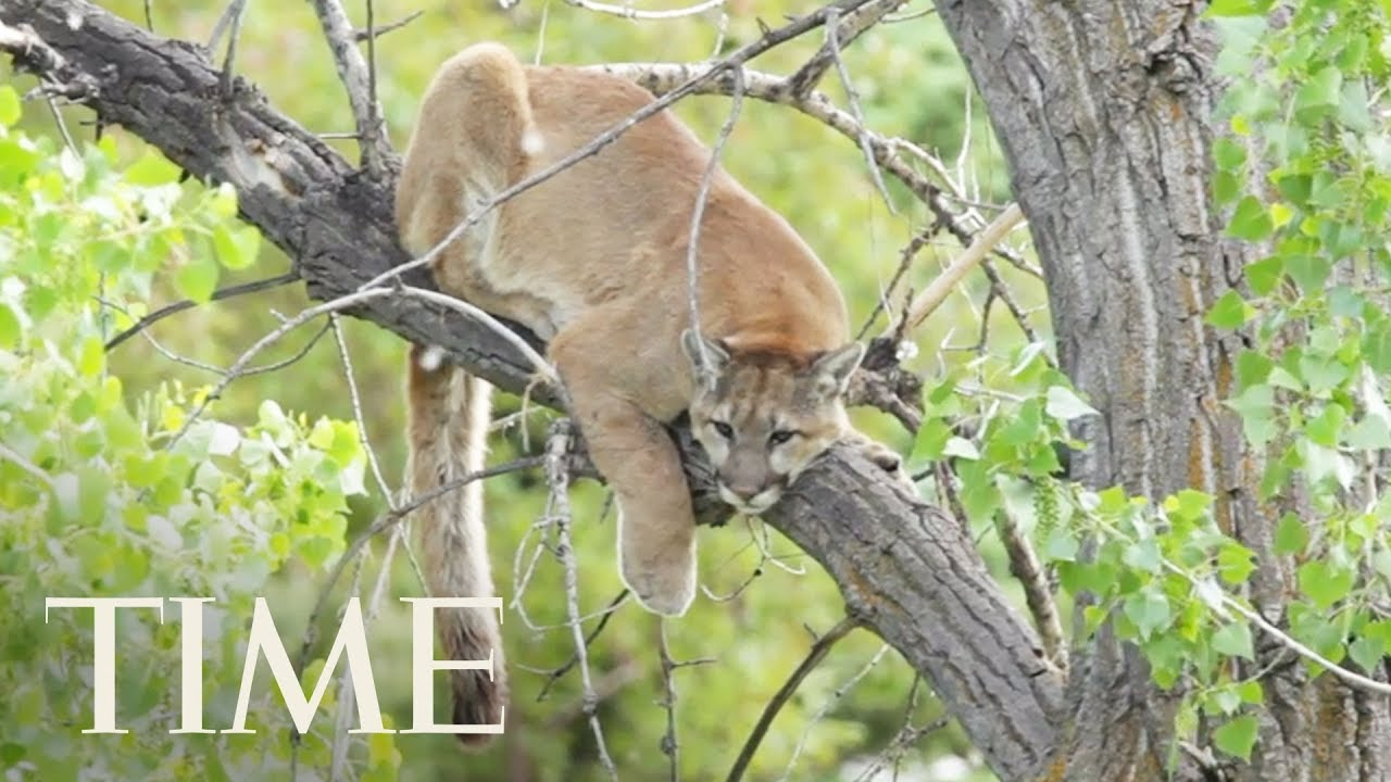 A Runner Fought Off And Killed A Mountain Lion During An Attack
